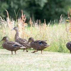 Ducks at Loch Lomond Waterfront